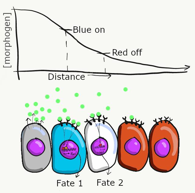 illustration of a morphogen gradient