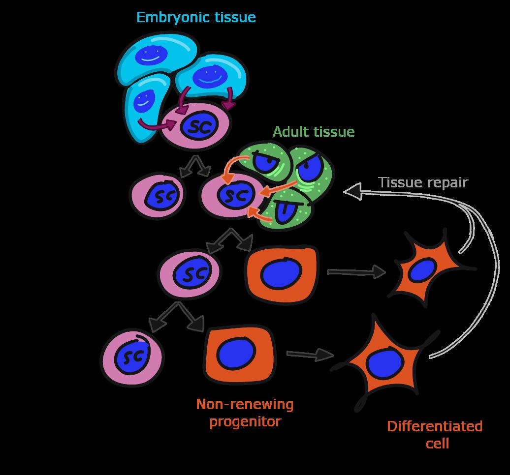 illustration of stem cell renewal