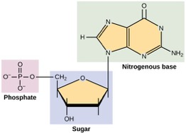 the three parts of a nucleotide