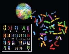 "Figure 3: There are 23 pairs of chromosomes in a female human body cell. These chromosomes are viewed within the nucleus (top), removed from a cell during cell division (right), and arranged according to length (left) in an arrangement called a karyotype. In this image, the chromosomes were exposed to fluorescent stains to distinguish them. (credit: ""718 Bot""/Wikimedia Commons, National Human Genome Research)"
