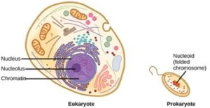 Prokaryote vs eukaryote chromosomes