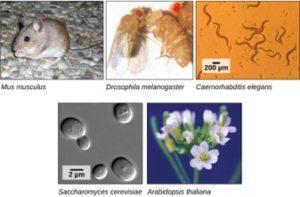 Model organisms