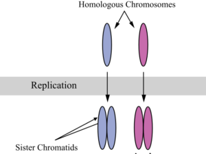 09.Chromosomes_during_mitosis
