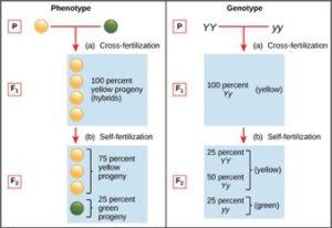 10e.phenotypespeas