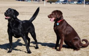 11.Labrador_Retrievers_blackandchocolate