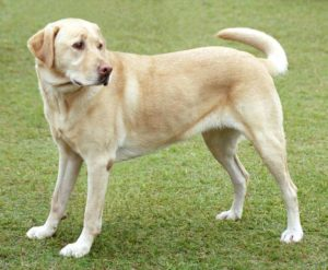 11f.YellowLabradorLooking_new