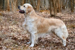 12.Golden_Retriever_Carlos_(10581910556)
