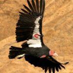1-6-condor