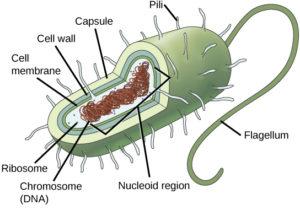 figure_03_05 prokaryote