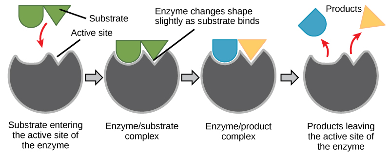 enzyme active site diagram