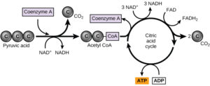 picture of pyruvate entering citric acid cycle