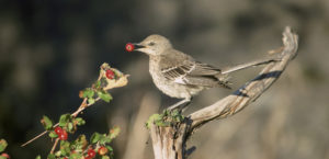 Immature sage thrasher in profile perched and feeding on a berry