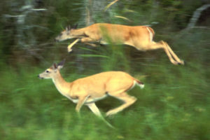 deer jumping through greenery