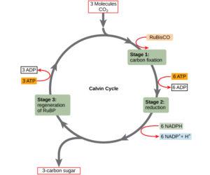 calvin cycle