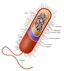 oval-shaped bacterial cell with small hairs (cilia) and a long tail (flagella)