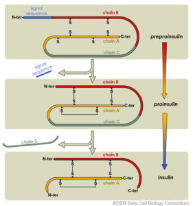 diagram showing maturation of insulin