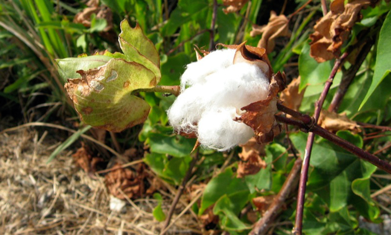 The image is a photograph of a cotton plant.