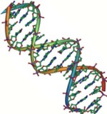 twisted ladder of DNA