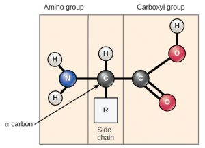 amino acid structure. On the left is the amino group, composed of two white balls labeled H representing hydrogens connected to a blue ball labeled N representing nitrogen. The N is connected to a black ball containing a C to the right. Connected above is a white ball labeled H. Connected below is a white box labeled R (side chain). To the right of the black ball labeled C is a second black ball labeled C. This ball is connected with one line representing a covalent bond to a red ball labeled O. The O is connected to a white ball labeled H. The black ball is also connected with two lines to another red ball labeled O. This end of the amino acid is labeled carboxyl group.