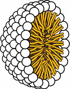 Illustration of a micelle. A half a sphere made up of small white circles. Pointing inwards are yellow lines representing the hydrophobic tails.