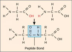 chemical structure of peptide bond
