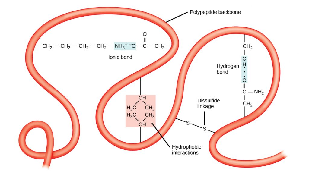 A red tube labeled polypeptide backbone squiggles around the image. connecting two sections into a loop are a positively charged amino acid on the left connected with an ionic bond to a negatively charged amino acid at the other end of the loop. A second loop is formed below connected by two amino acids in a pink box labeled hydrophobic interactions. A third loop is connected by lines connecting two S's, labeled disulfide linkage. Within this loop is a second connection with two amino acids connected by a blue rectangle labeled hydrogen bond.
