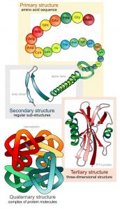 434px-main_protein_structure_levels_en