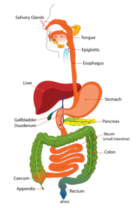 digestive-system-for-kids