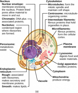 Diagram of an animal cell.