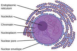 endomembrane system is shown in purple. A small dark circle shows the nucleolus inside a larger light purple circle (the nucleus). Outside the nucleus, squiggly purple sections of endoplasmic reticulum are covered with small red ribosomes.