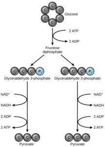 figure 1 an overview of glycolysis  in glycolysis, a glucose molecule is  converted into two pyruvate molecules