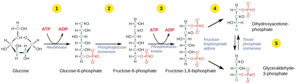 shows chemical structures of molecules in the first half of glycolysis.