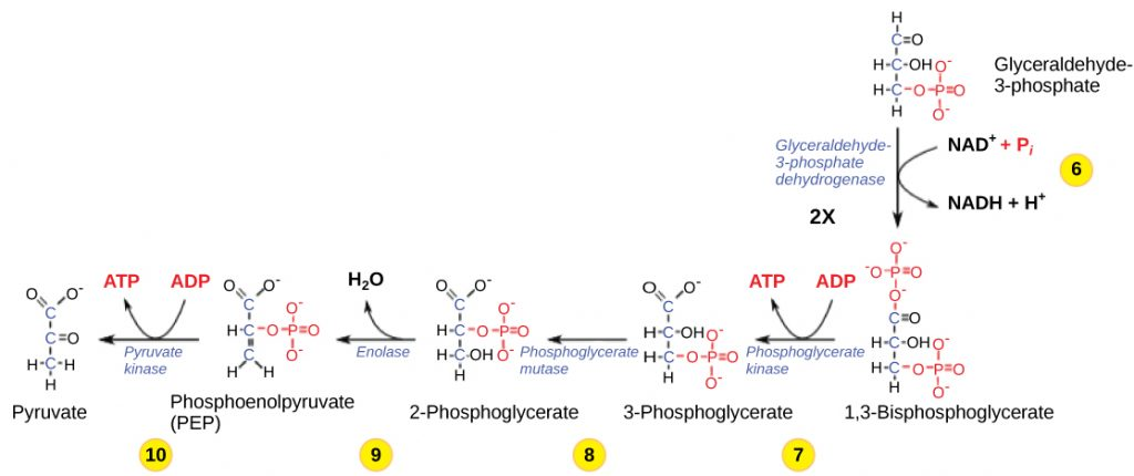 more chemical reactions in glycolysis