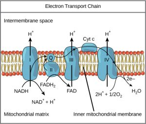 proteins in the electron transport chain