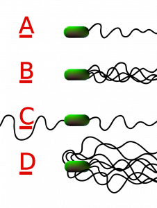 Four arrangements of bacterial flagella are shown. The cell is shown as a green oval. Out the right side come different numbers of squiggly black lines.