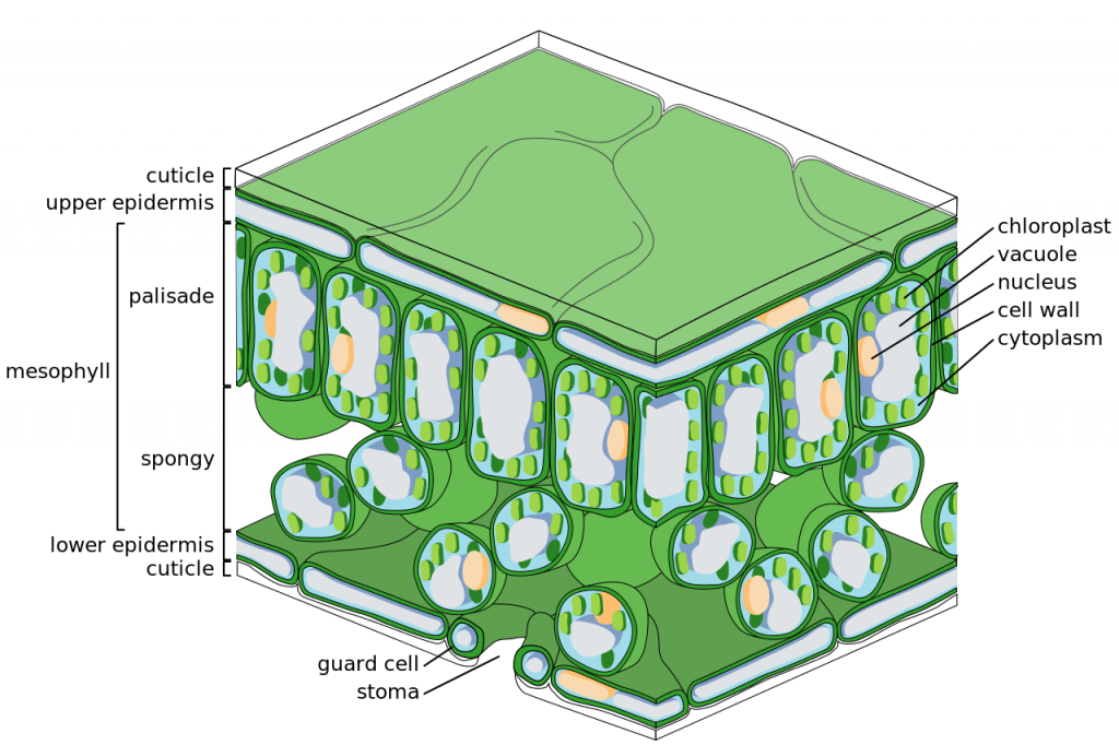 The Structure Of The Chloroplast Principles Of Biology Biology
