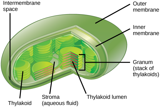 Which Organelle Absorbs Energy And Uses It To Build Sugar