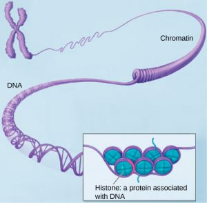An X-shaped chromosome unravels into a purple line of chromatin. This untwists into double-helical DNA. A zoomed in section shows purple DNA wrapped around blue balls representing histones.