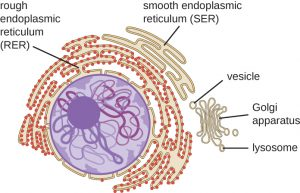 endoplasmicreticulum 300x193 ribosomes principles of biology biology 211, 212, and 213