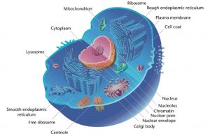 diagram of eukaryotic cell with organelles labeled