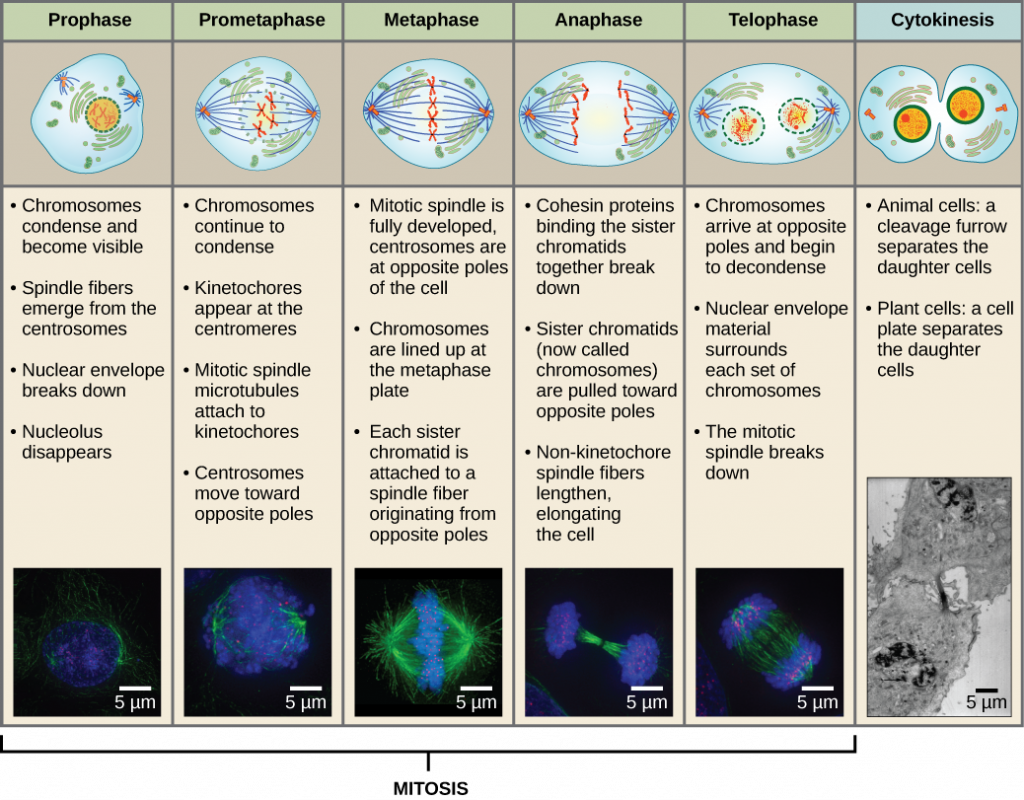 an analysis of the process of mitosis In single-cell organisms, mitosis is the only form of cellular reproduction one round of mitosis yields two genetically identical cells in bacteria, this process results in an entirely new, independent organism.