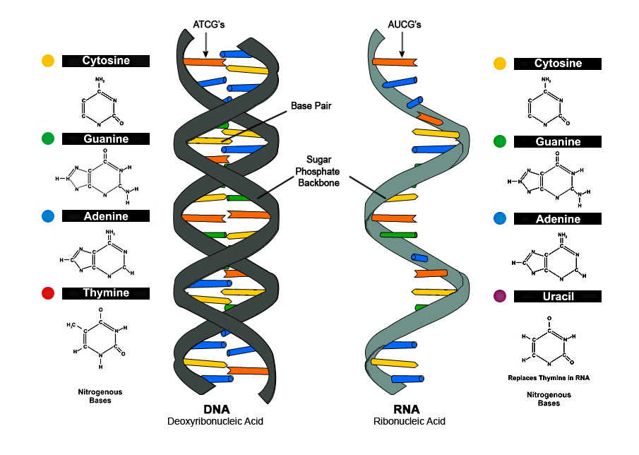 how do genes direct the production of proteins