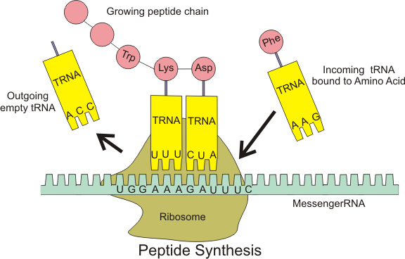 ribosome and tRNAs
