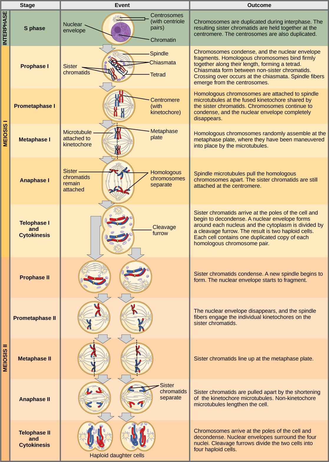 Meiosis Ii  U2013 Principles Of Biology