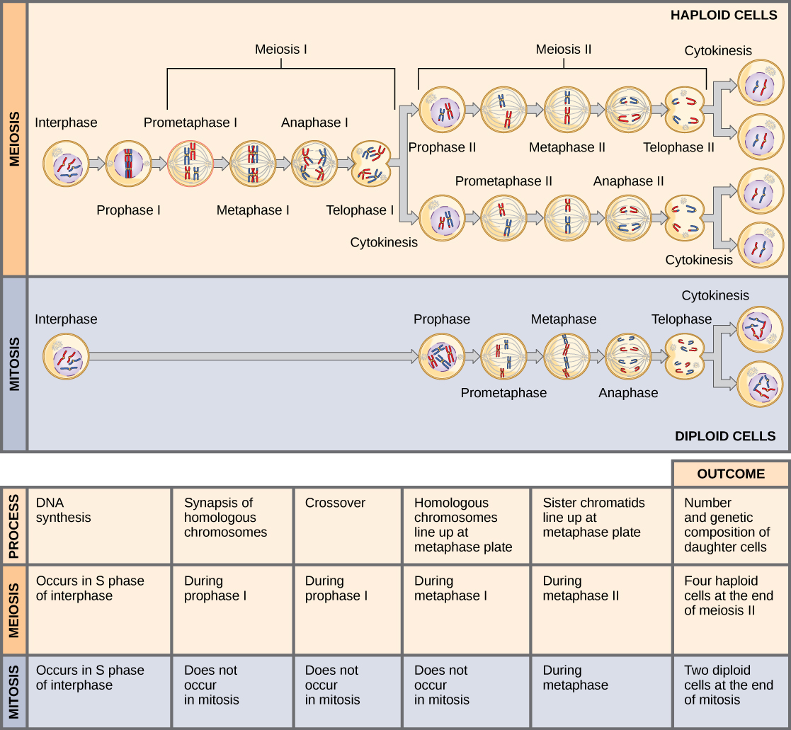 Worksheets Comparing Mitosis And Meiosis comparing meiosis and mitosis principles of biology 211 figure 1 are both preceded by one round dna replication however includes two nuclear di