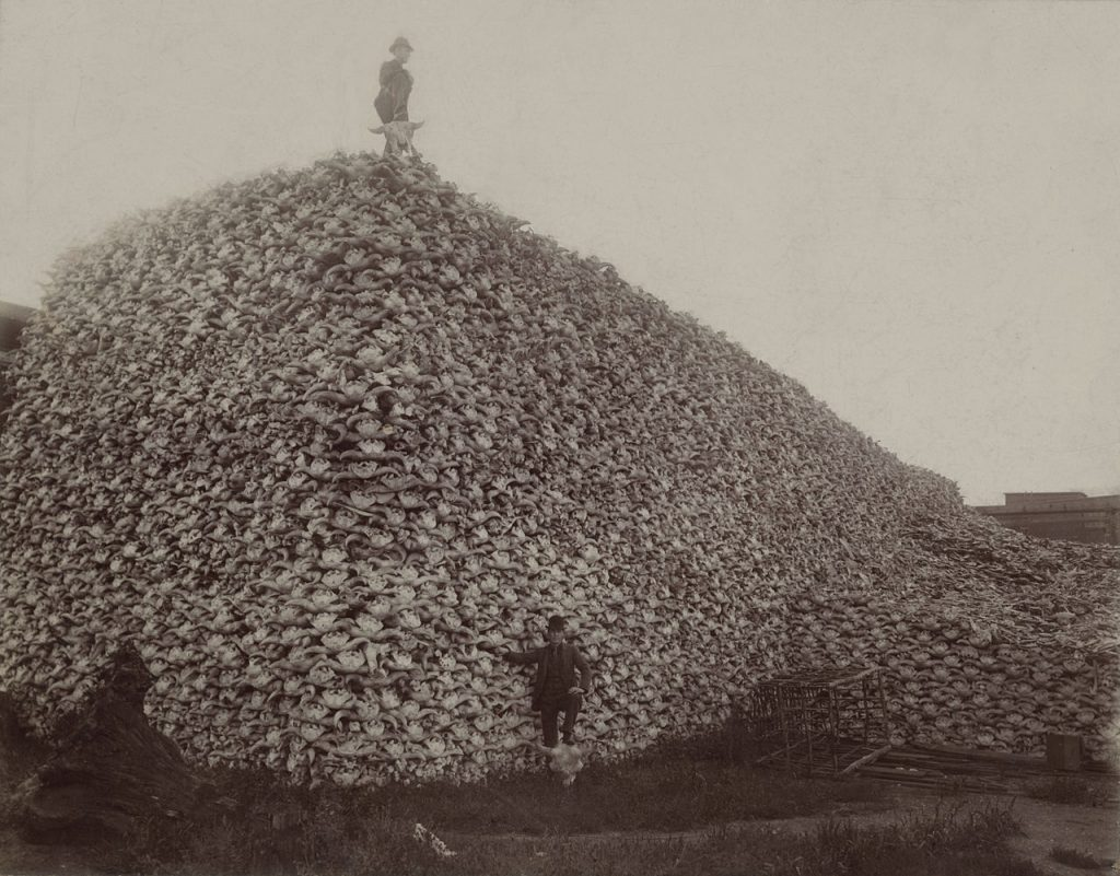 Photograph from the mid-1870s of a pile of American bison skulls waiting to be ground for fertilizer