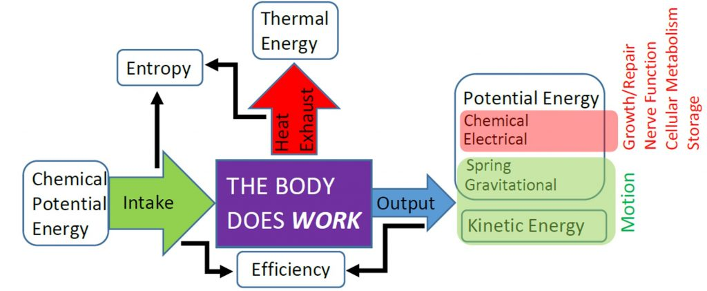 "A box labeled ""the body does work"" has an arrow labeled ""input"" pointing inward from the left. The arrow starts from a box labeled ""Chemical Potential Energy."" An arrow labeled ""output"" points outward from the body box to the right and toward a pair of boxes labeled ""Potential Energy"" and ""Kinetic Energy."" The potential energy box contains the terms ""chemical, electrical, spring, gravitational."" The terms chemical and electrical are connected to the terms ""growth/repair, nerve function, cellular metabolism, storage."" The terms spring, gravitational, and kinetic energy are connected to the the term ""motion."" An arrow labeled ""heat"" points outward and upward from the top of the central ""work"" box and toward a box labeled ""thermal energy."" Small, thin arrows connect the output and input arrows to the word ""efficiency,"" and separately the input and heat arrows to the word ""entropy."""