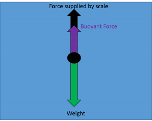 "Arrows emerge upward and downward from dot. An arrow labeled ""weight"" points downward. An arrow labeled buoyant force points upward and a smaller arrow labeled ""force supplied by scale"" is added to the end of the buoyant force arrow. The combined length of the upward arrows is equal to the length of the downward weight arrow."