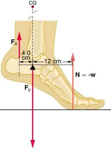 A foot with heel raised off the floor. The normal force acts on the ball of the toe and is equal and opposite to the weight. The tension in the Achilles' tendon acts upward on the heel, and the force of the leg bones on the foot acts downward at the ankle. The horizontal distance from the tension force the the ankle is 4 cm and the horizontal distance from normal force to ankle is 12 cm.