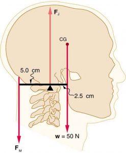 A head and neck system as a lever. The force at the joint acts upward on the head, the force of the neck muscles acts on the back of the head 5 cm behind the joint. The weight of the head acts downward on the front of the head 2.5 cm in front of the joint.